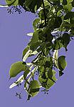 flowering Lime tree, Tilia sp.