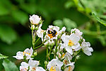 Bumble Bee on Many-flowered Tuft Rose, Rosa multiflora, Bombus sp.