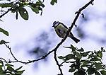 Blaumeise im baum, Parus caerulus