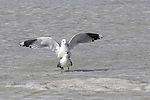 Sturmmöwen Paarung auf dem Eis, Larus canus