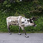 Rentier auf der Straße, Rangifer tarandus