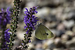 Cabbage White Butterfly on Woodland Sage, Pieris sp., Salvia nemorosa