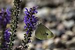 Kohlweißling auf Steppen-Salbei, Pieris sp., Salvia nemorosa