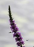 Schwebfliegen an Langblättriger Ehrenpreis, Veronica longifolia, Syrphidae