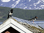 Oystercatcher and Magpie on roof, Haematopus ostralegus, Pica pica
