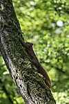 Eichhörnchen am Baum, Sciurus vulgaris