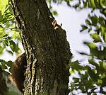 Eichhörnchen im Baum, Sciurus vulgaris