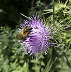 Common Carder Bee on Thistle blossom