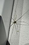 Weberknecht auf Fensterbank, Phalangium ophilio