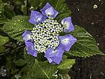 blaue Hortensie; Hydrangea macrophylla