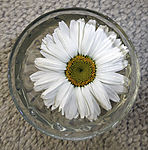 Aster blossom in water
