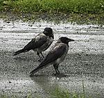 Carrion Crows in rain, Corvus corone