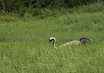 Crane in grainfield, Grus grus