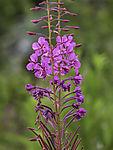 Willow Herb, Epilobium angustifolium