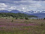 summer meadow at Ofotfjord