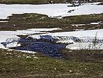 Schneeschmelze auf dem Saltfjell