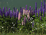 Lupines at road side, Lupinus sp.