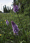 Spotted Orchids at road side, Dactylorhiza maculata