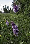 Geflecktes Knabenkraut am Strassenrand, Dactylorhiza maculata