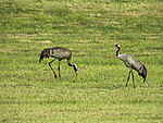Cranes on agricultural field, Grus grus