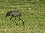 Crane looking for food, Grus grus