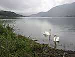Mute Swans on river Losna, Cygnus olor