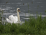 Mute Swan on river Losna, Cygnus olor