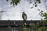 Fieldfare on roof, Turdus pilaris