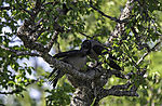 Carrion Crows feeding chicks, Corvus corone