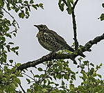 Fieldfare in tree, Turdus pilaris