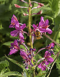 Common Carder Bee on Fireweed