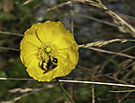 Dark Ground Bumble Bee on yellow Poppy, Bombus terrestris, Papaver sp.