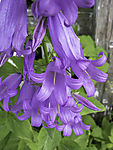 Bell Flower blossoms, Campanula sp.