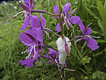 Cuckoo Spit on Fireweed