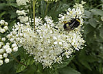 Dark Bumblebee und Real Sweet