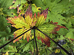 fall colours on Wood Cranesbill, Geranium sylvaticum