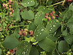 Shadbush in rain, Amelanchier lamarckii