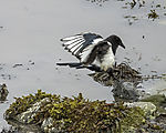 Magpie on beach, Pica pica
