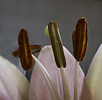 stamen of Lily