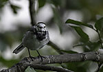 Pied Wagtail in tree eye contact, Motacilla alba