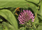 Common Carder Bee on Red Clover, Bombus pascuorum, Trifolium pratense