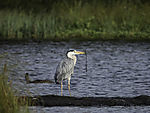 Grey Heron with nesting material in late summer, Ardea cinerea