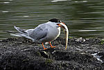Common Tern with fish for chicken, Sterna hirundo