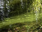 Grünalgen auf Alster