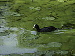 Bald Coot and green algae on lake Alster, Fulica atra