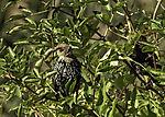 Jungstare im Gebüsch, Sturnus vulgaris
