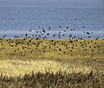 Staenschwarm im Wattenmeer, Sturnus vulgaris