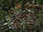 Rosenwurz mit Regentropfen, Rhodiola rosae