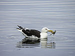 Great Black-backed Gull with crab; Larus marinus