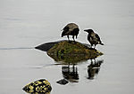 Carrion Crows looking for food at the sea, Corvus corone